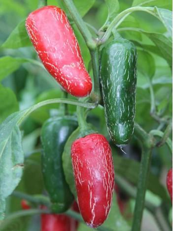 Jalapeno (10 semen)
