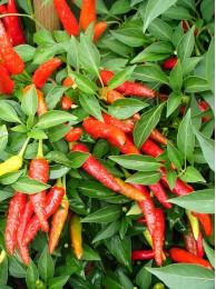 Super chilli (10 semen)